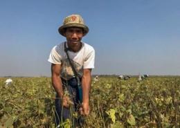 Myanmar mungbean farmer