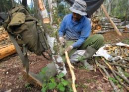 Cinnamon farmer cleaning the bark of the cinnamon tree